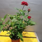 명품빨강장미(노오지월동가능) 재입고 일년에 몇번꽃이피어요|