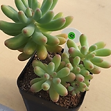 애심|Sedum pachyphyllum thin blue form