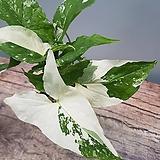 무늬싱고니움  신종싱고니움  희귀식물