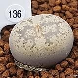 둥근 모양 콜레오름(c196) 136