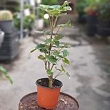 파비앙 중품 공기정화식물  25354930|