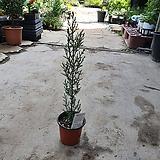 이탈리안 싸이프러스 수입식물 30~40cm|