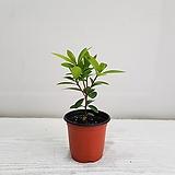 목향/공기정화식물/반려식물/온누리 꽃농원|
