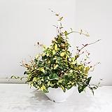 황금마삭/공기정화식물/반려식물/온누리 꽃농원|