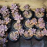 아메치스 다육 식물|