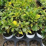 점막이크로톤|Codiaeum Variegatum Blume Var Hookerianum