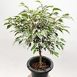 작지만 목대 좋은 스트라이프벤자민 무늬벤자민 벤자민 공기정화식물|