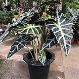 거북 알로카시아 잎의 무늬가 독특|