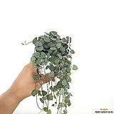러브체인 / 행잉플랜트 / 공기정화식물 /한빛농원|