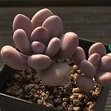 아메치스2두-25|Graptopetalum amethystinum