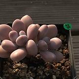 아메치스2두-28|Graptopetalum amethystinum