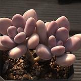 아메치스2두-29|Graptopetalum amethystinum