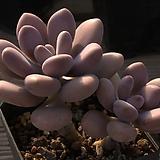아메치스2두-33|Graptopetalum amethystinum