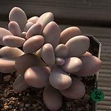 아메치스2두-34|Graptopetalum amethystinum