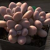 아메치스3두-36|Graptopetalum amethystinum