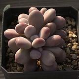 아메치스-37|Graptopetalum amethystinum