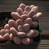 아메치스-42|Graptopetalum amethystinum