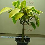 벵갈고무나무4번|