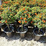 난타나무-신종환타오렌지색|