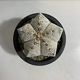온즈카 난봉옥|Astrophytum myriostigma cv. ONZUKA