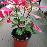 빨간포인세치아(한목대) 꽃말이 축복이에요 사랑하는 지인에게 선물하세요|