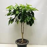 커피나무(동일품배송 )|