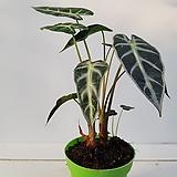알로카시아(작은품종)|