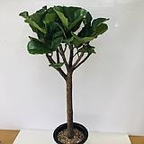 떡갈나무(동일품배송 ) 