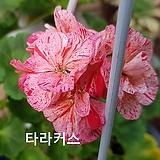 타라커스(제라늄) Geranium/Pelargonium