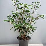 산호수나무 (동일품배송) 