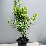 월계수나무 (동일품배송) 