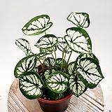 스노우화이트박 제인 실내식물|
