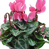 시클라멘(꽃색랜덤발송)|