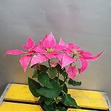 짙한핑크포인세치아( 한목대)  축복의꽃이에요|
