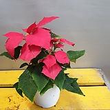 포인세치아(한목대) 촉복의꽃이에요|