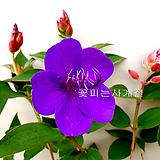 티보치나(꽃대외목) 