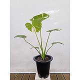희소성 높은 무늬몬스테라(포트) 인테리어식물 실내화초|
