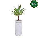 아가베 아테누아타 관엽식물 공기정화식물 개업화분 집들이선물 입주화분 