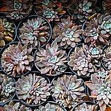 슈가젤리 다육 식물