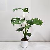 몬스테라(한정특가)/공기정화식물/반려식물/온누리 꽃농원