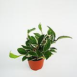 호야 키우기 쉬운 식물|Hoya carnosa
