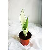 산세베리아 문샤인 공기정화식물|Sansevieria