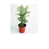 테이블야자 인테리어식물|