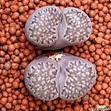 리톱스 묵둥이쌍두입니다 91|