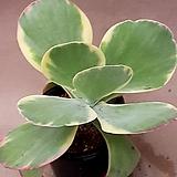 당인금 사이즈좋아요 93|Kalanchoe thysifolia