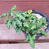 데카리 B09016 Euphorbia decaryi|