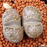 리톱스 묵둥이쌍두입니다 998|Lithops