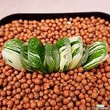 옥선금 금끼좋고사이즈도좋아요 953|Haworthia truncata variegated