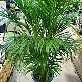아레카야자 대품 공기정화식물 100~130cm
