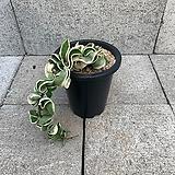 쭈구리 호야 POT|Hoya carnosa